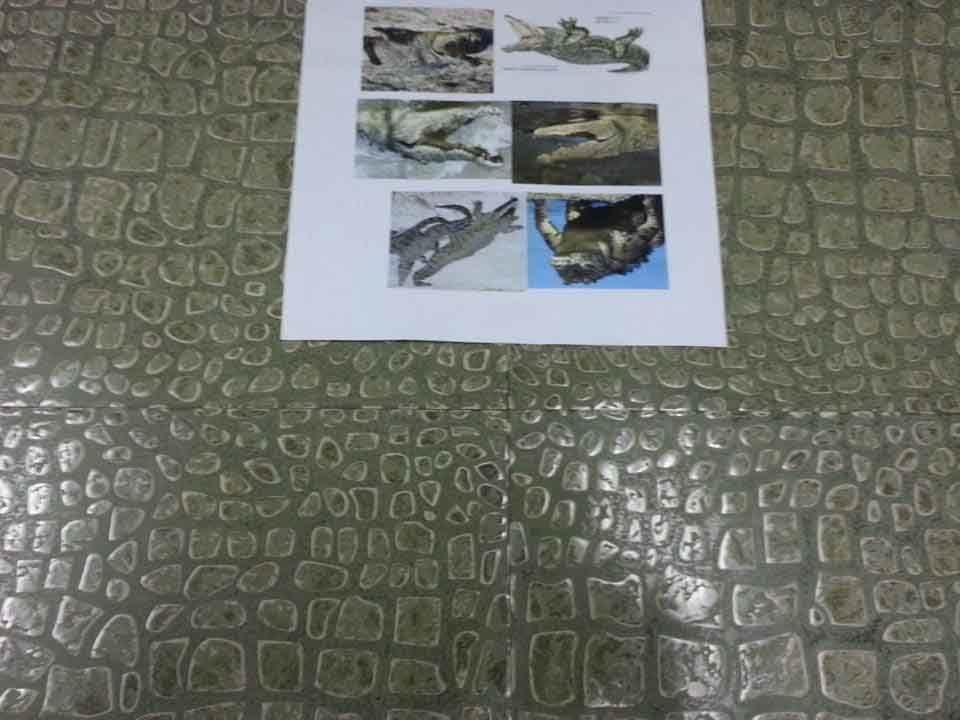 tai thong Crocodile effect1